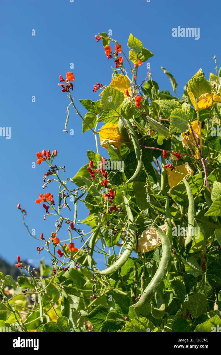 scarlet runner beans growing on a tepee trellis in