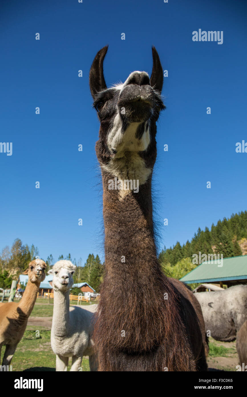 Llama portrait, with alpacas in the background, at the Purple Crayon Ranch in Leavenworth, Washington, USA - Stock Image