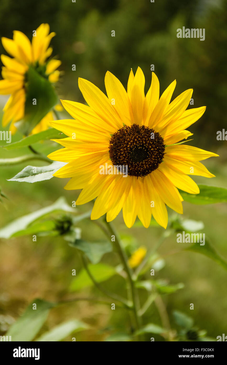 Close-up of Helianthus 'Chrysanthemum flowered series' sunflowers at the Sleeping Lady Mountain Resort garden in - Stock Image