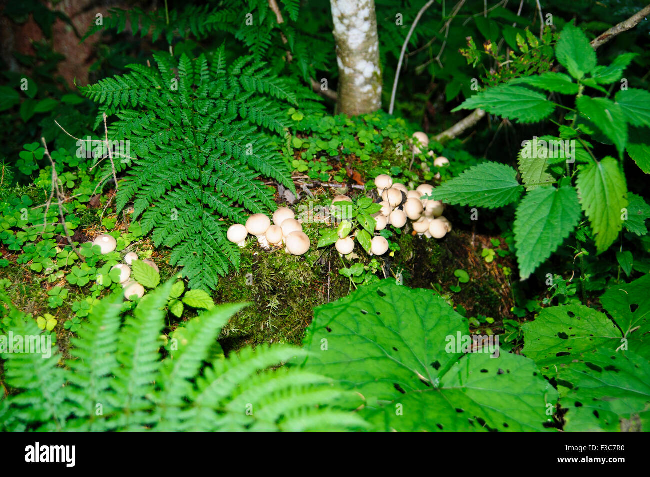 Large group of mushrooms (Agaricus sp) growing on the forest floor, Tirol Austria - Stock Image