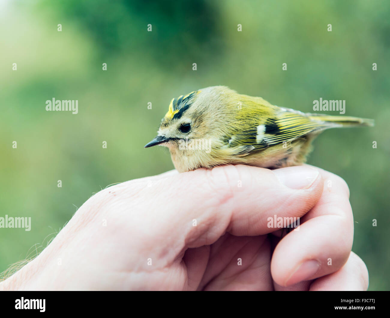 Bird ringing - Stock Image