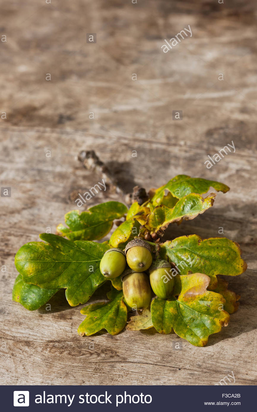Acorns Quercus robur - Stock Image