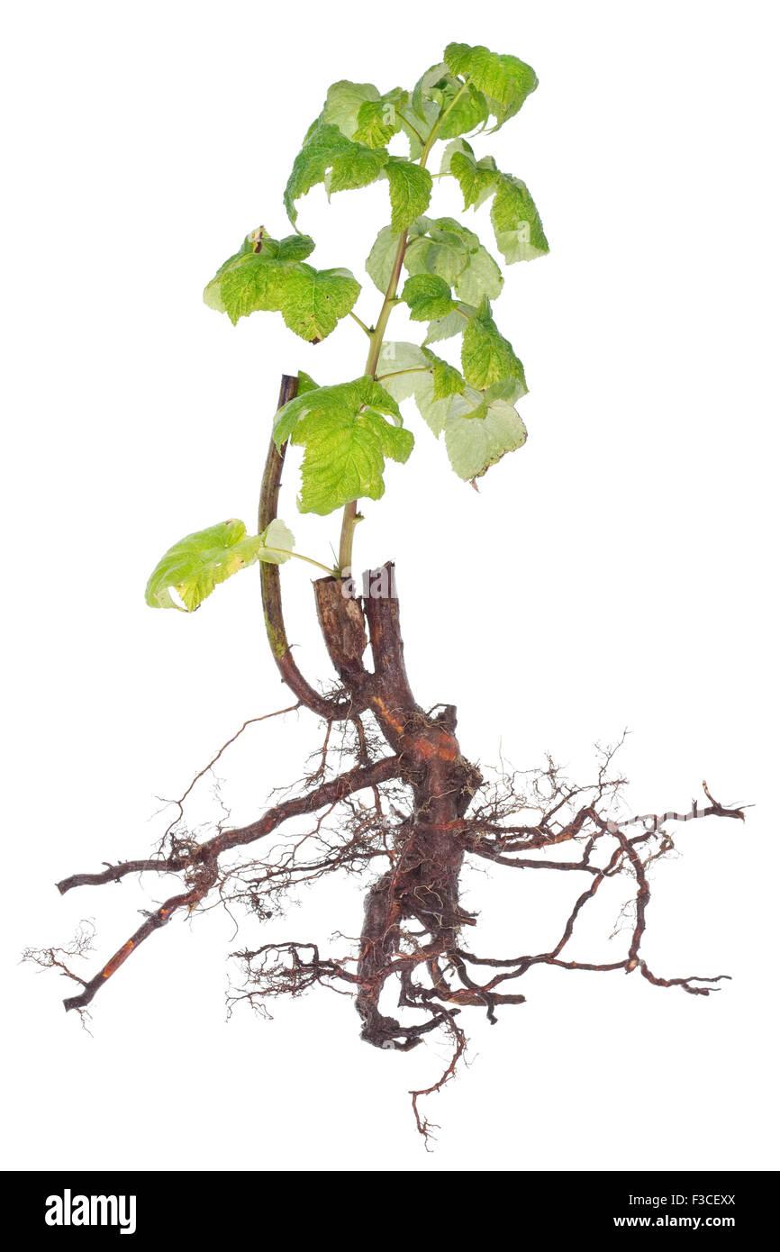 Black Root Green Branch Symbol Stock Photos Black Root Green
