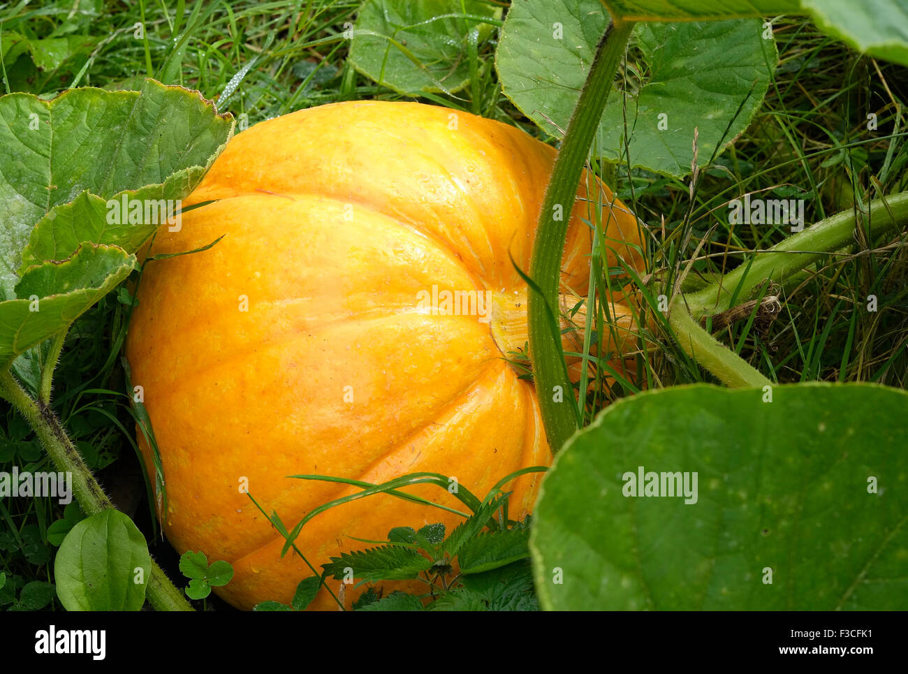 yellow pumpkin growing in english cottage garden - Stock Image