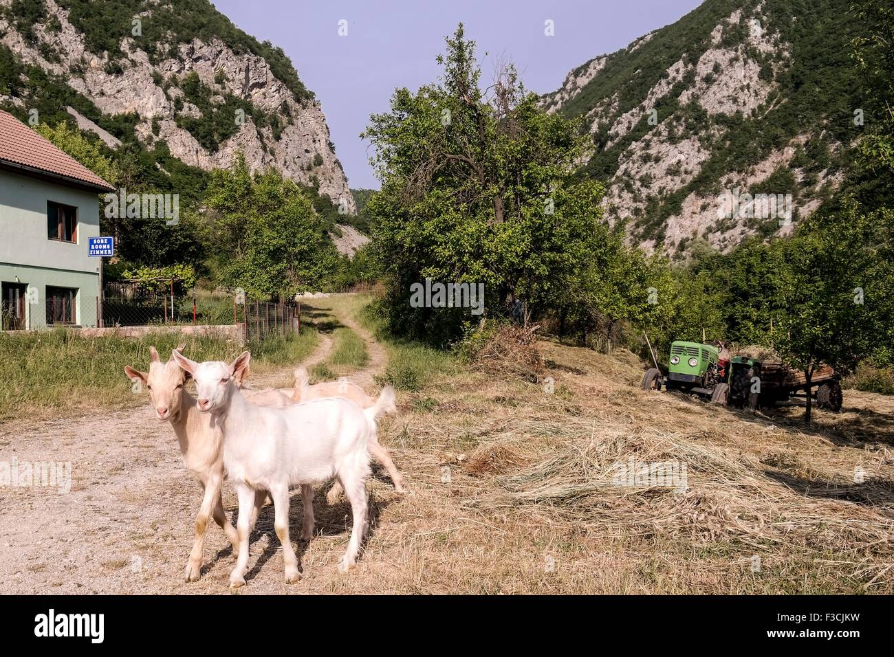 Goat in Martin Brod in front of Unac-Canyon. - Stock Image