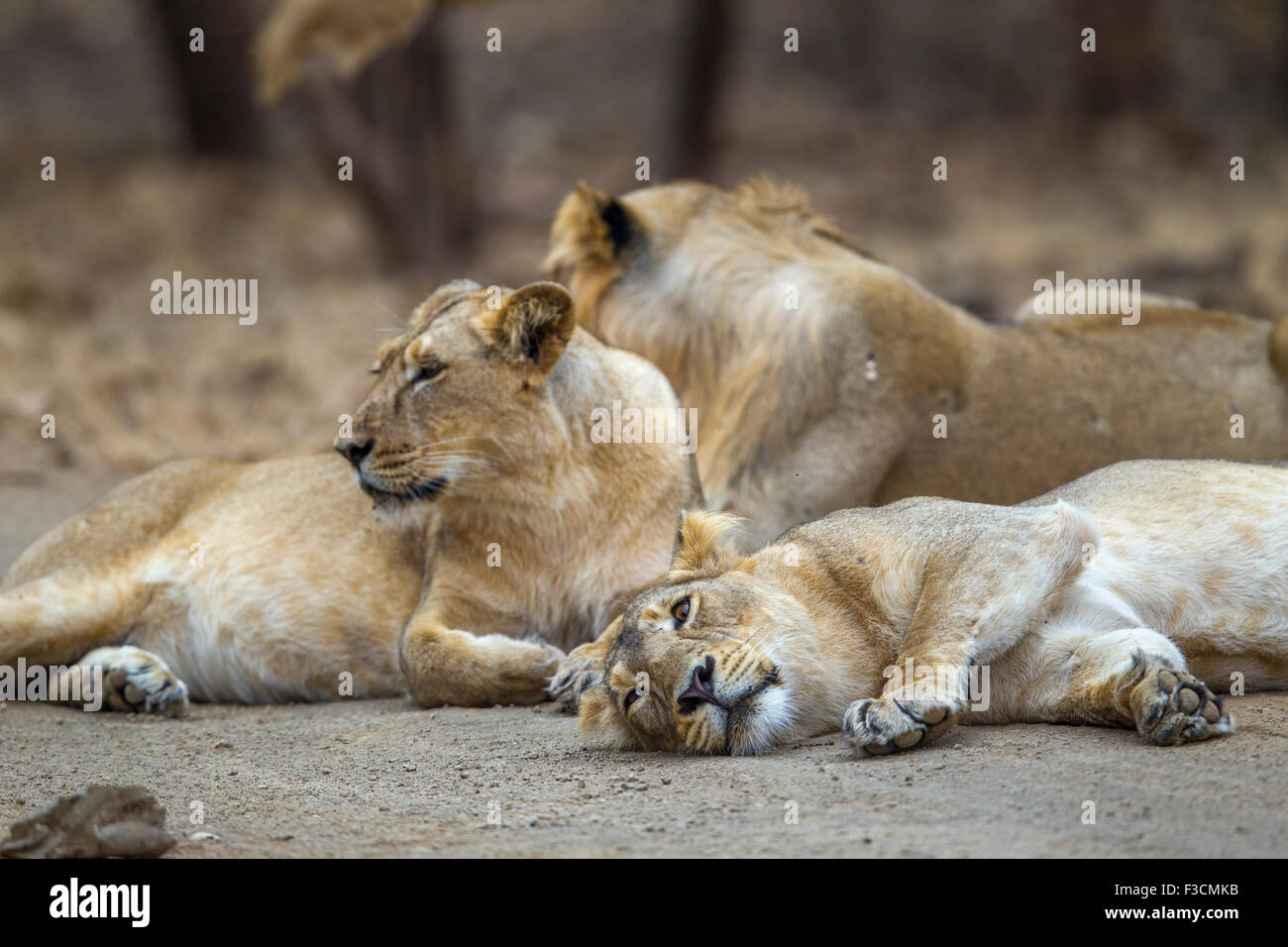 Asiatic Indian Lions [Panthera leo persica] Pride at Gir Forest, Gujarat India. - Stock Image