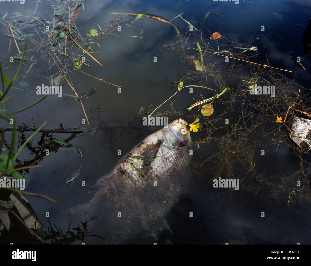 A dead fish floating in polluted river water - Stock Image