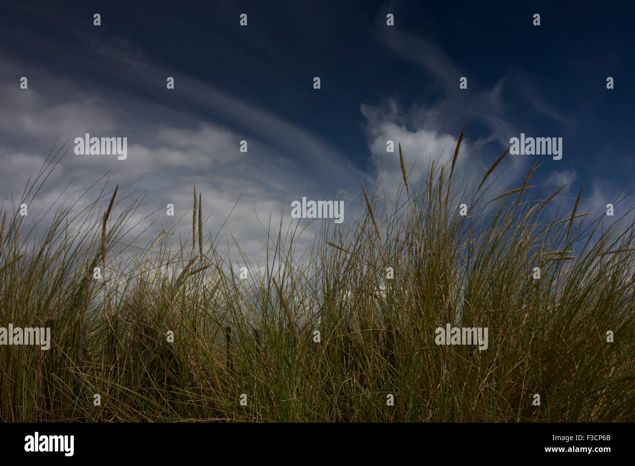 Dune grasses close up with partly cloudy blue sky in background - Stock Image