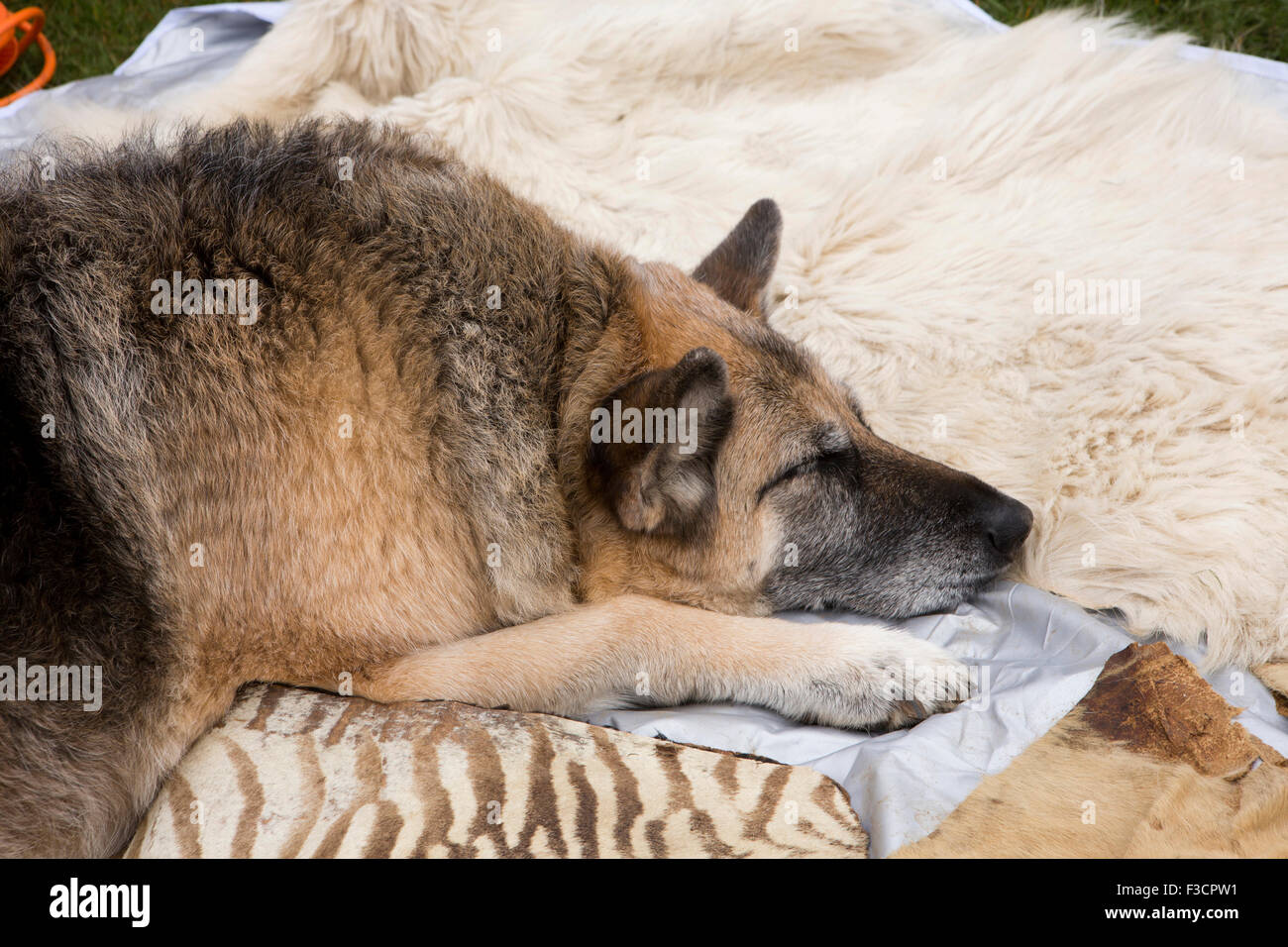 UK, England, Lincolnshire, Lincoln, Antiques Fair, German Shepherd dog asleep on zebra skin rug - Stock Image
