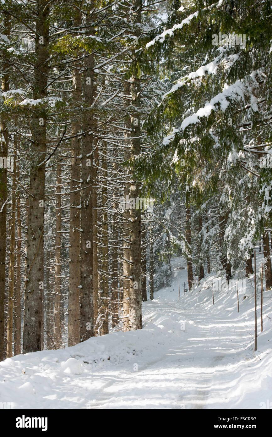 Österreich, Niederösterreich, Lackenhof am Ötscher, Waldweg im Winter - Stock Image