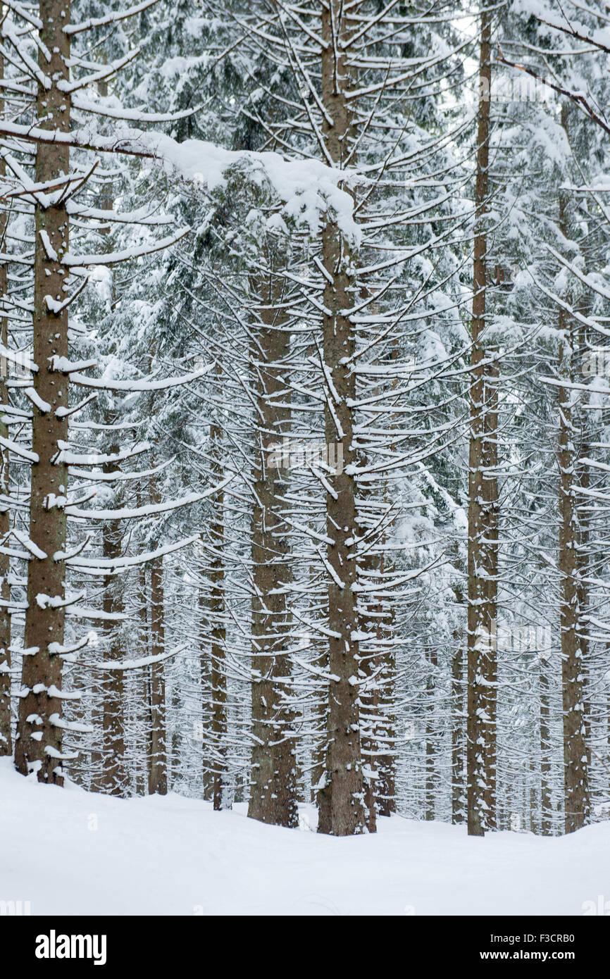 Österreich, Niederösterreich, Lackenhof am Ötscher, Bäume im Schnee - Stock Image