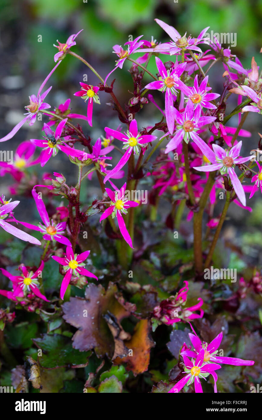Close up of the pink autumn flowers of the shade tolerant perennial close up of the pink autumn flowers of the shade tolerant perennial saxifraga fortunei cherry pie mightylinksfo Images