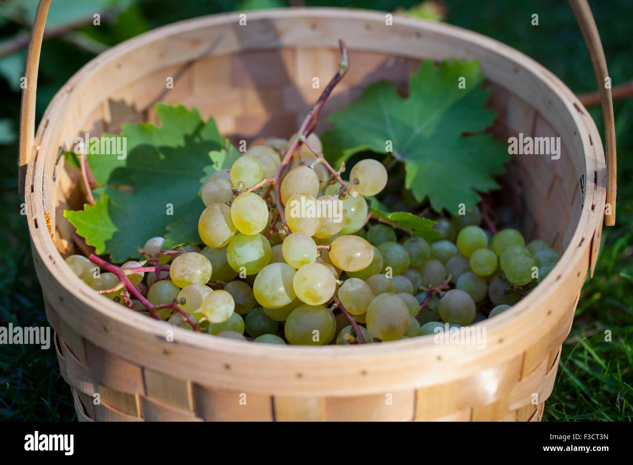 Grapes in the basket - Stock Image