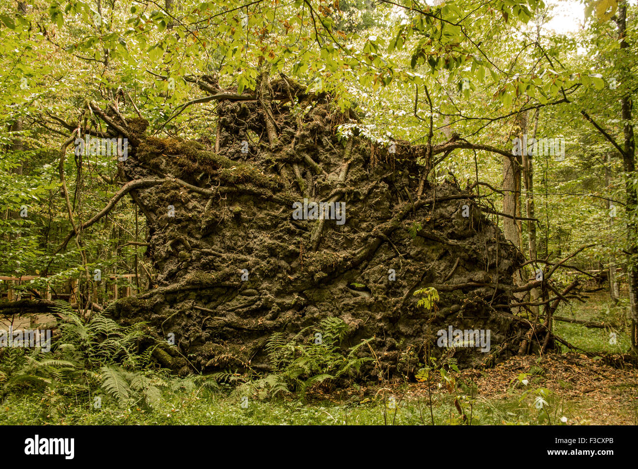 Białowieża National Park landscapes Poland Podlaskie Voivodeship roots of an up-trooted tree Stock Photo