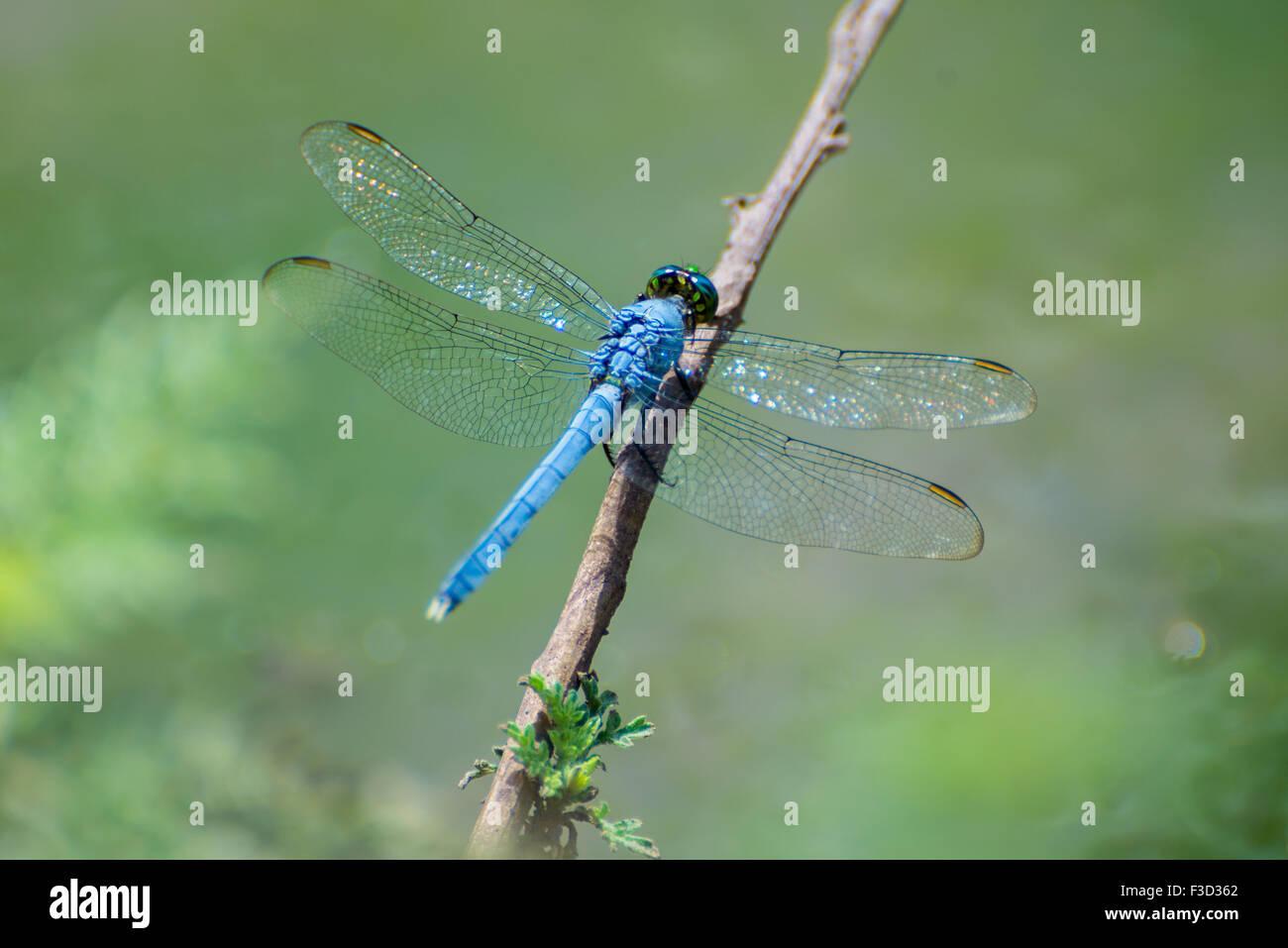 Blue Dasher Dragonfly Clip Art