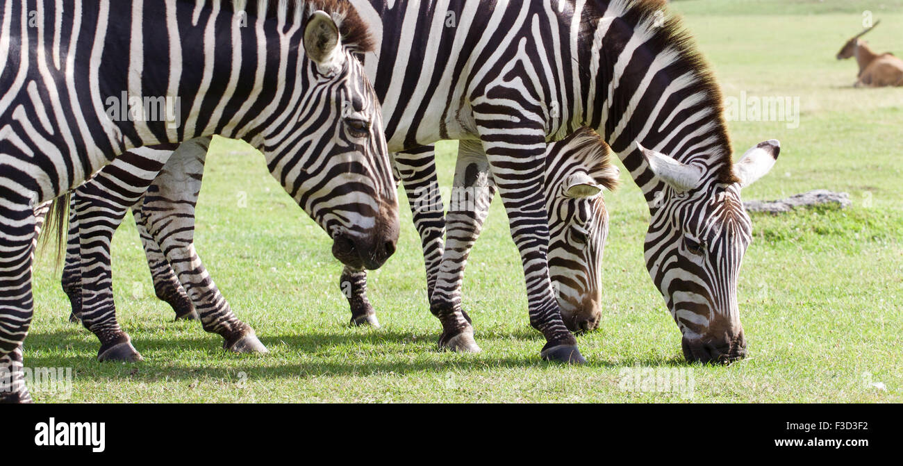 Three beautiful zebras together on the grass field - Stock Image