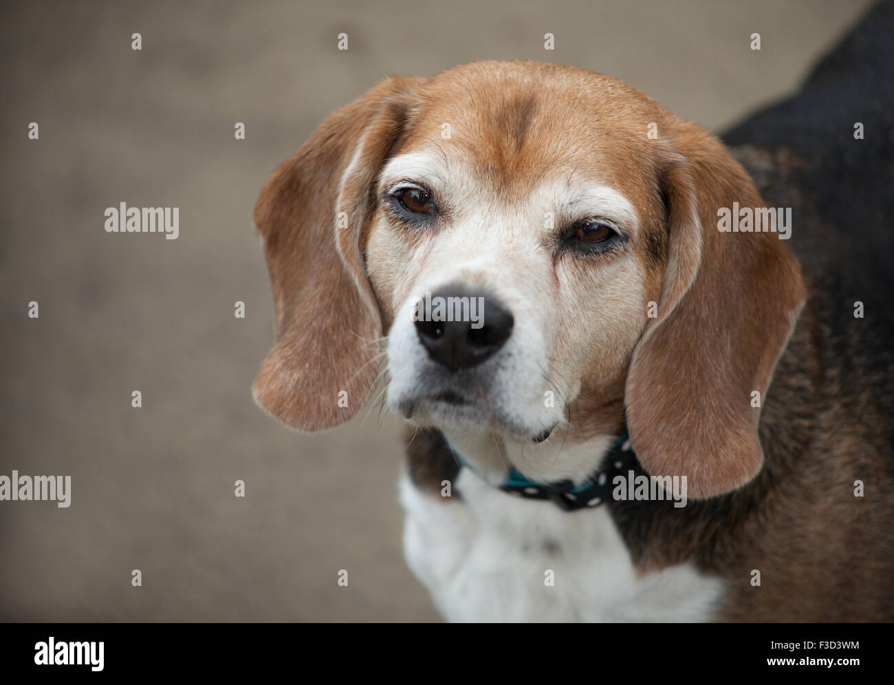 elderly beagle dog partial body looks up at camera with sleepy squinting eyes against a cement background. - Stock Image