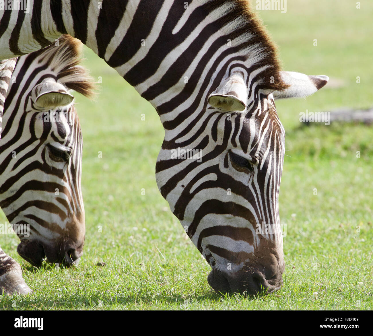 Zebras are eating the green grass together - Stock Image
