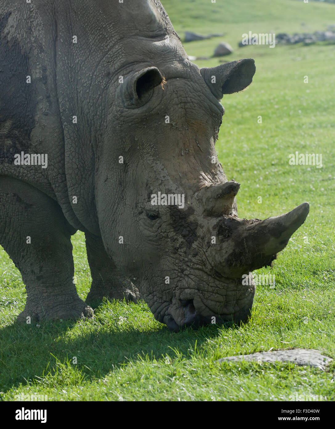Beautiful portrait of the white rhinoceros on the field Stock Photo