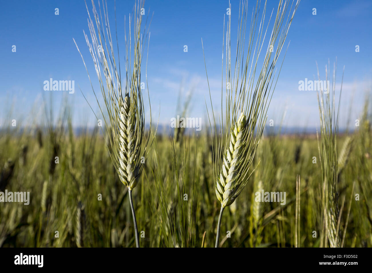 Wheat spike Carcassonne Aude Languedoc Rosellón France Europe - Stock Image