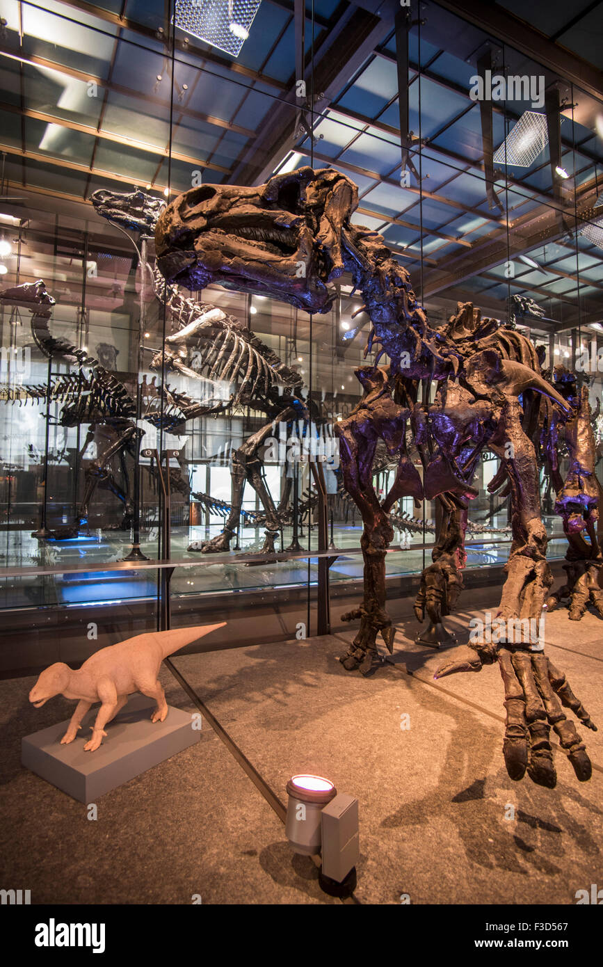 Mounted Iguanodon skeletons in the Royal Belgian Institute of Natural Sciences / Museum of Natural History, Brussels, - Stock Image