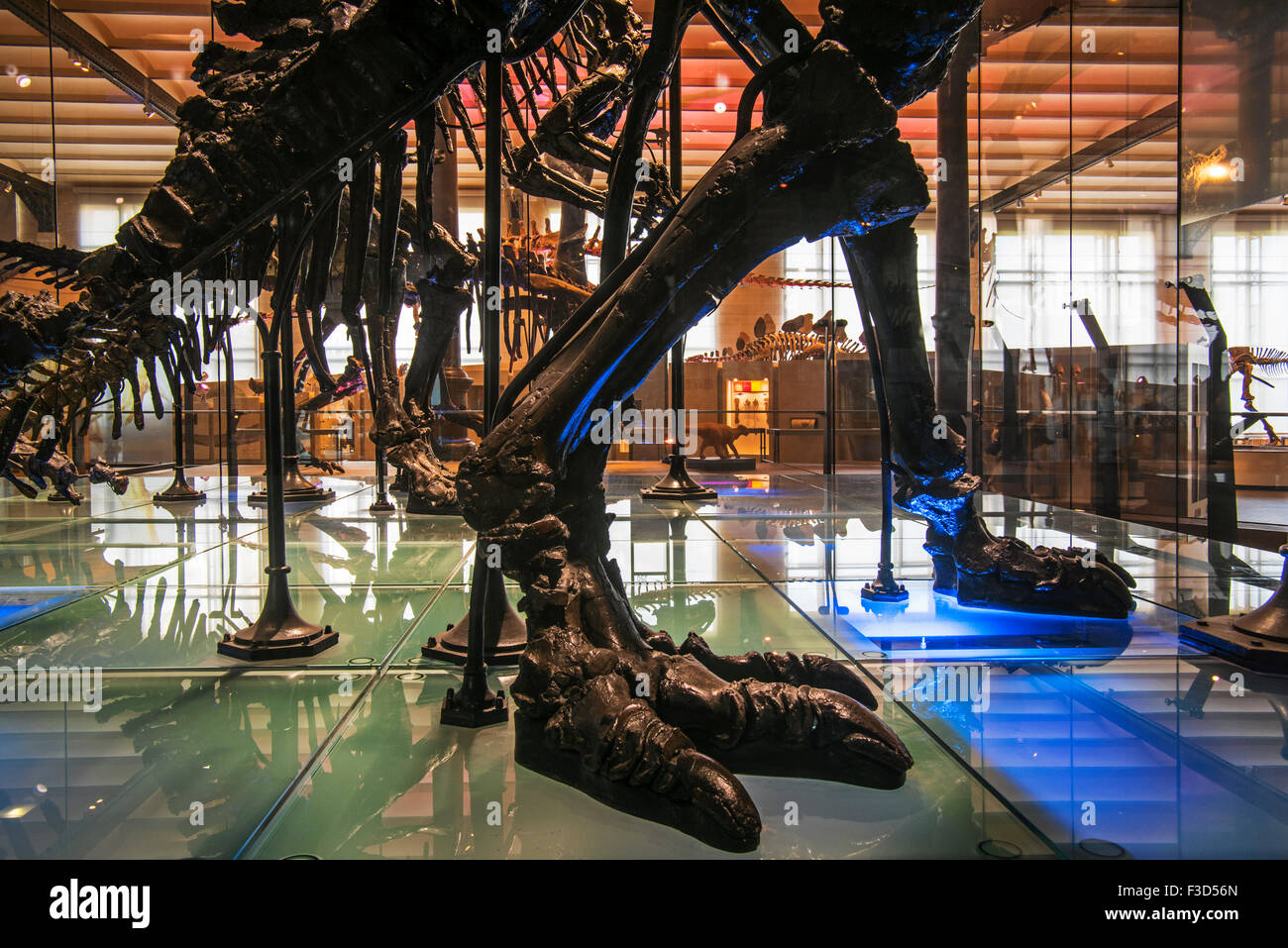 Mounted skeletons of Iguanodon dinosaurs, Royal Belgian Institute of Natural Sciences / Museum of Natural History, - Stock Image