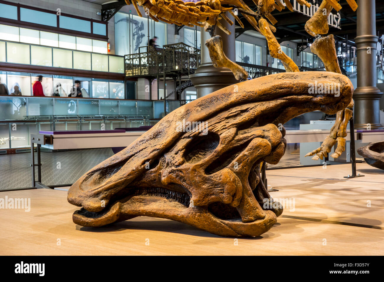 Olorotitan skull in the Royal Belgian Institute of Natural Sciences / Museum of Natural History, Brussels, Belgium - Stock Image