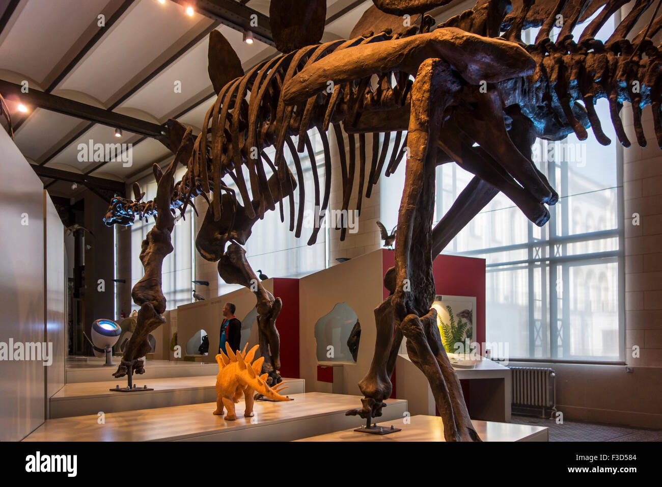 Mounted skeleton of dinosaur in the Royal Belgian Institute of Natural Sciences / Museum of Natural History, Brussels, - Stock Image