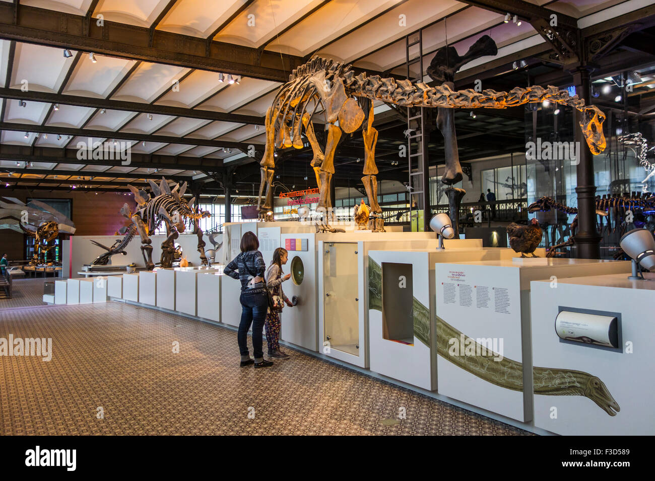 Mounted skeletons of dinosaurs in the Royal Belgian Institute of Natural Sciences / Museum of Natural History, Brussels, - Stock Image