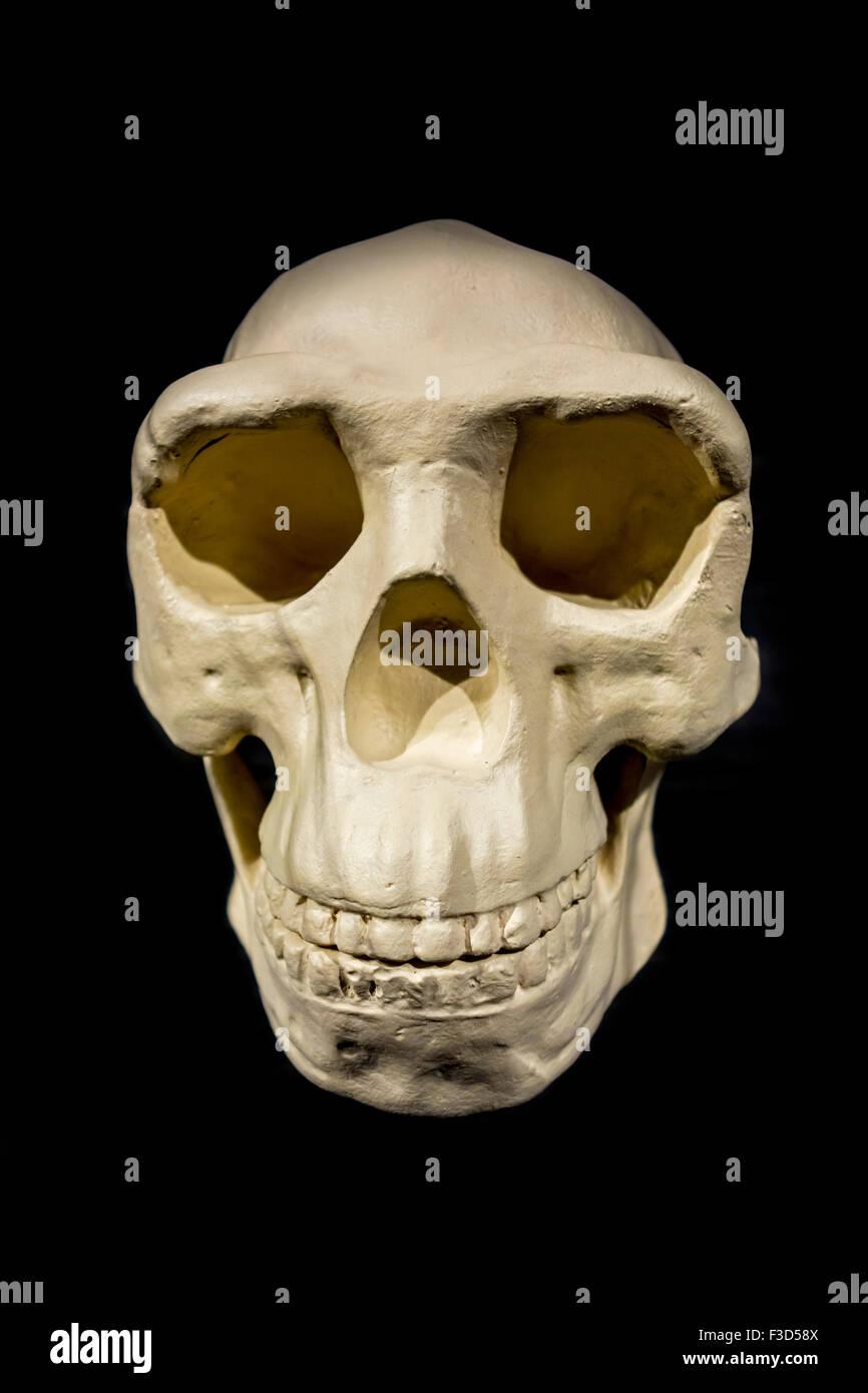 Replica of skull of Peking Man / Homo erectus pekinensis against black background - Stock Image