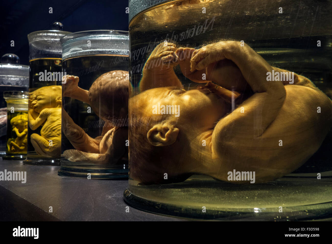Collection of glass jars with dead foetuses / fetuses in different growth stages preserved in formalin - Stock Image
