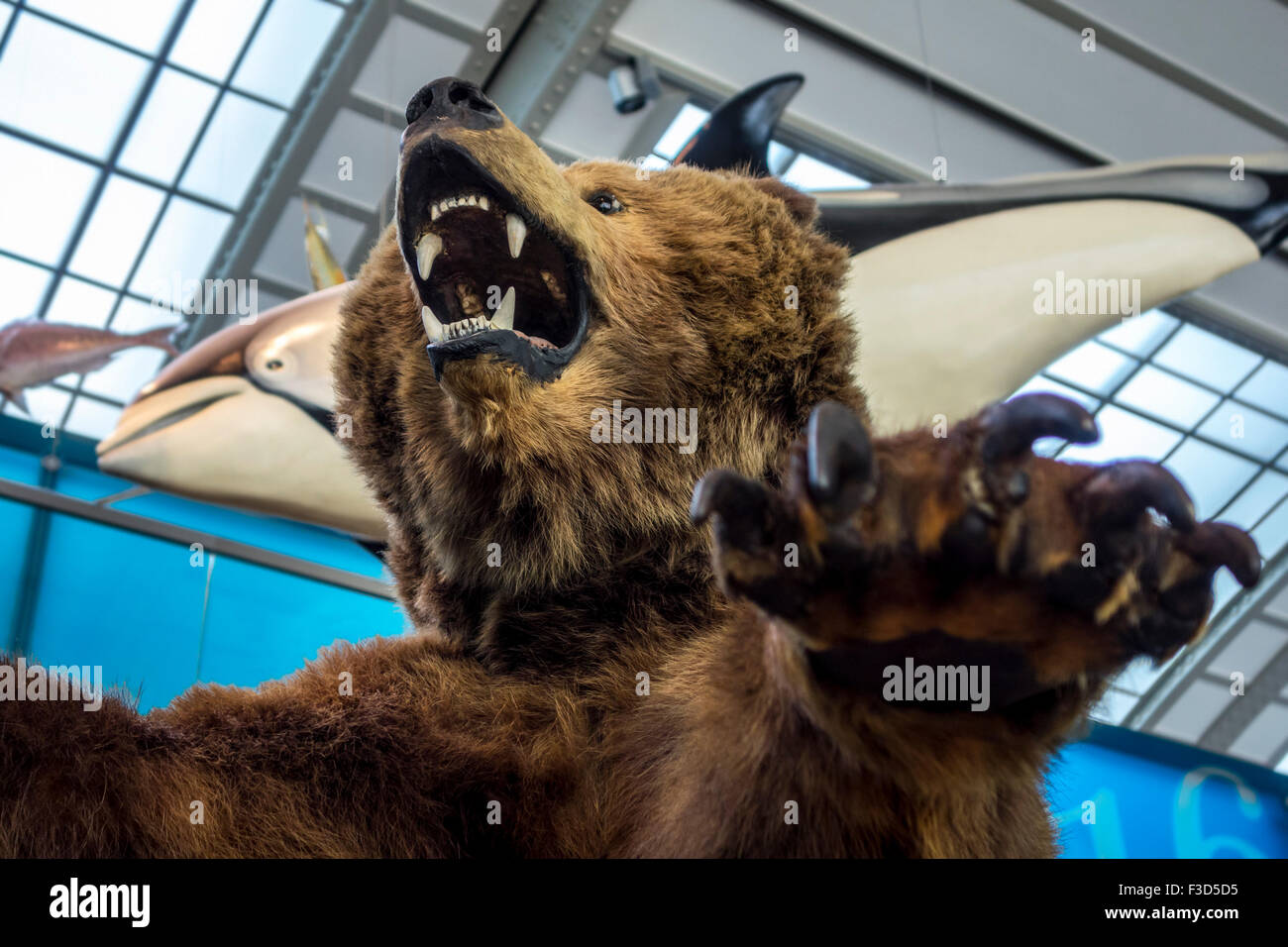 Stuffed bear at the Gallery of Evolution, Royal Belgian Institute of Natural Sciences / Museum of Natural History, - Stock Image