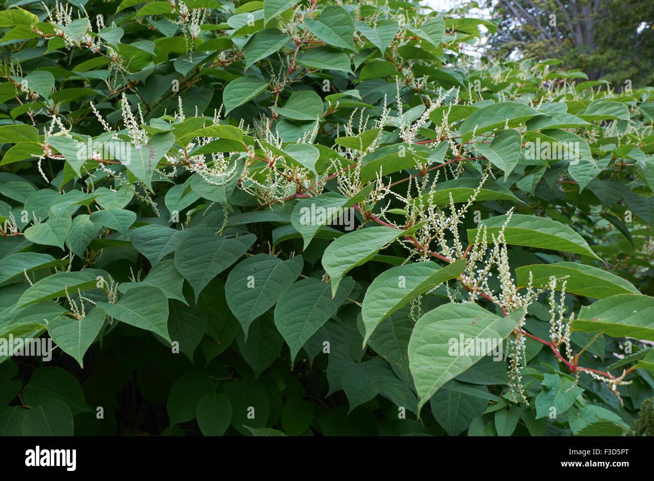 Blooming Sakhalin Knotweed or Fallopia sachalinensis in autumn - Stock Image