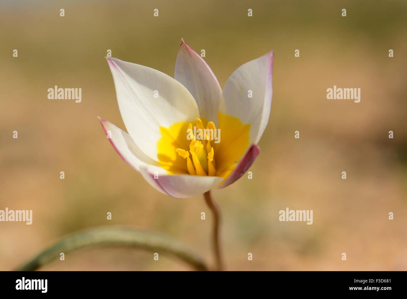Desert Tulip, Tulipa polychroma,  polychrome tulip - Stock Image