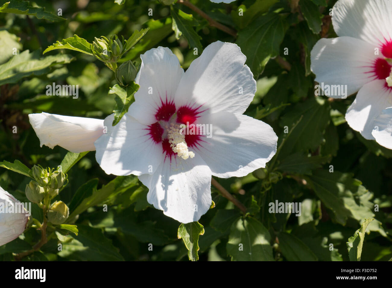 Colorful red tropical hibiscus flower stock photos colorful red white hibiscus flower with a red heart stock image izmirmasajfo Gallery