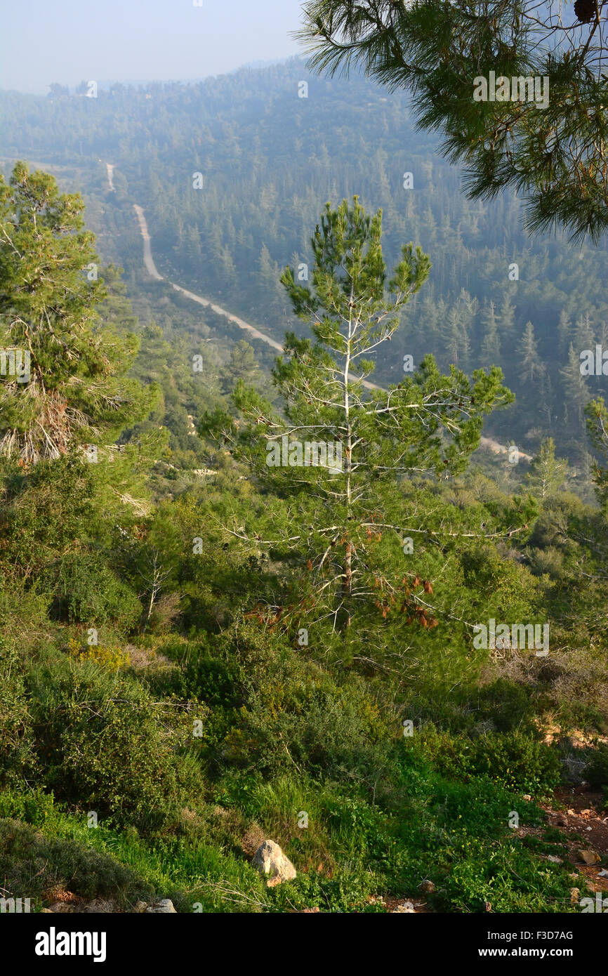 Pine tree forest near Jerusalem, Israel - Stock Image
