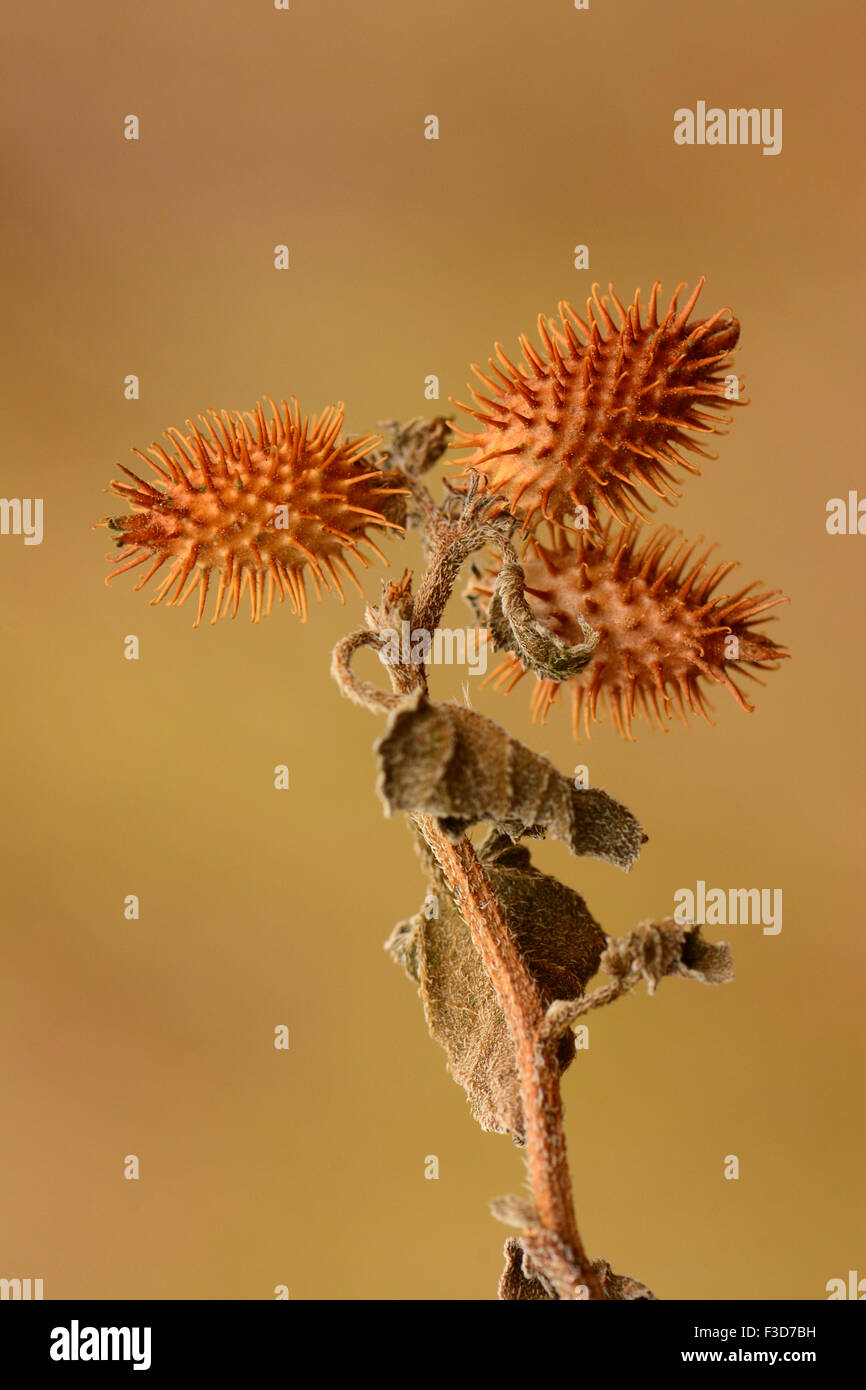Seed Dispersal - Stock Image