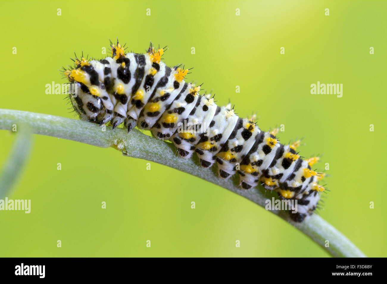 Swallowtail caterpillar at a very early stage. - Stock Image