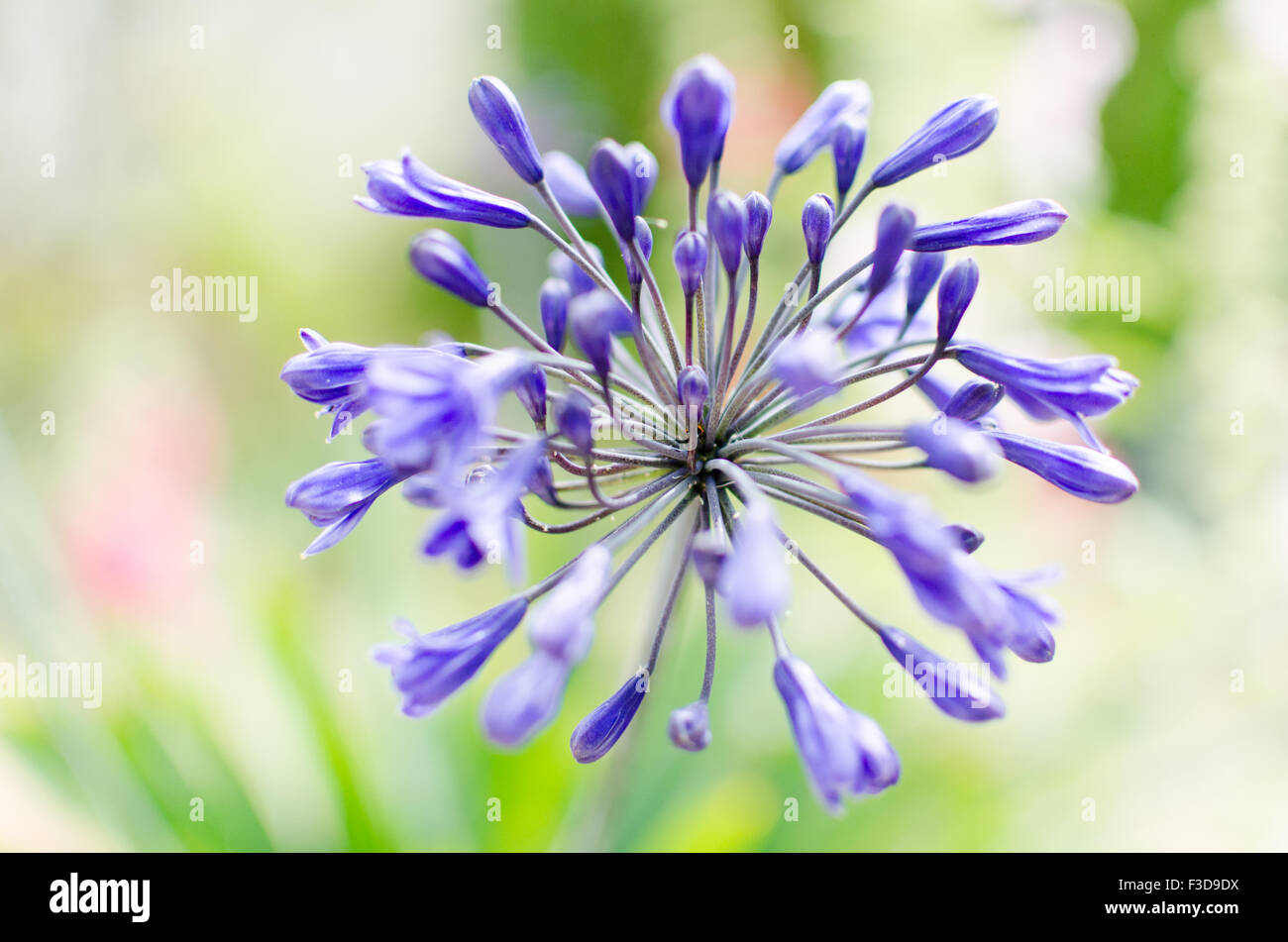 Purple Agapanthus on a blurry garden background - Stock Image
