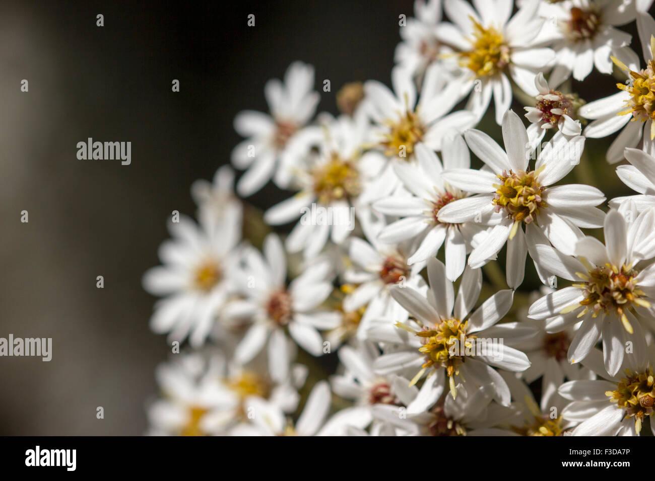 Wild Daisy - Stock Image