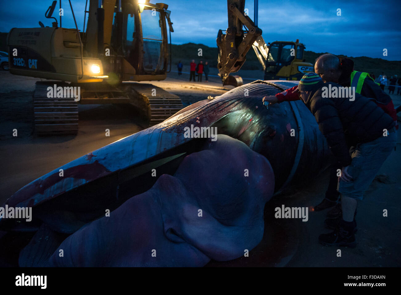 Portstewart strand, Co Derry, Northern Ireland. 5th October, 2015. Minke whale washed up at Portstewart strand, - Stock Image