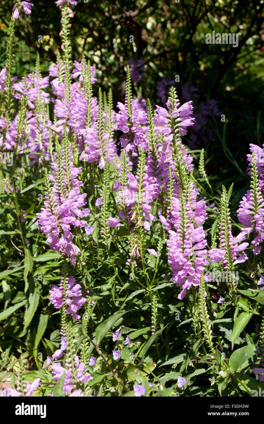 Obedient plant, AKA Obedience, False Dragonhead (Physostegia virginiana) - USA - Stock Image