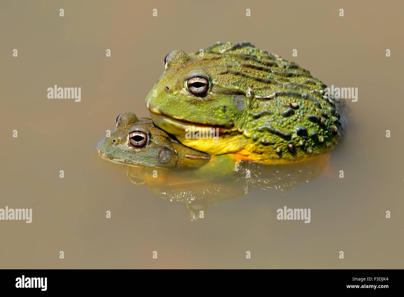 A pair of African giant bullfrogs (Pyxicephalus adspersus) mating, South Africa - Stock Image