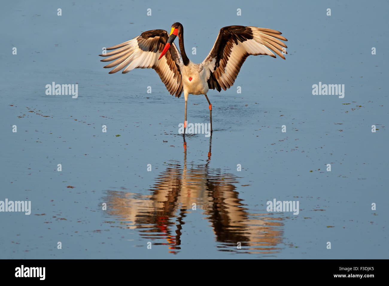 Sadle-billed stork (Ephippiorhynchus senegalensis), Kruger National Park, South Africa - Stock Image