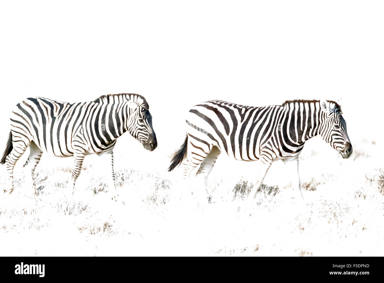 Burchell's zebras (Equus quagga burchellii) roaming, Etosha National Park, Namibia - Stock Image
