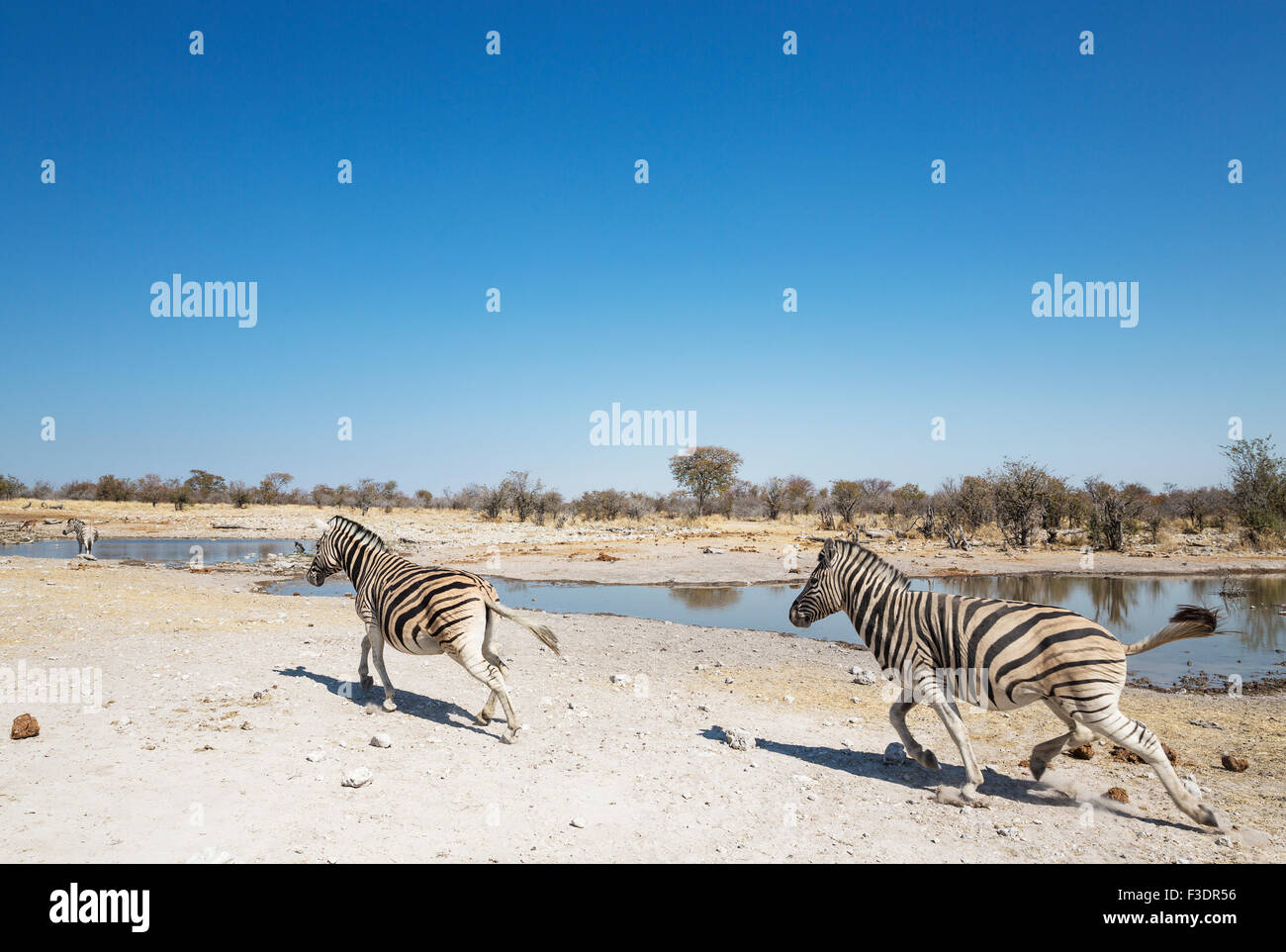 Burchell's zebras (Equus quagga burchellii) rushing towards waterhole, Etosha National Park, Namibia - Stock Image