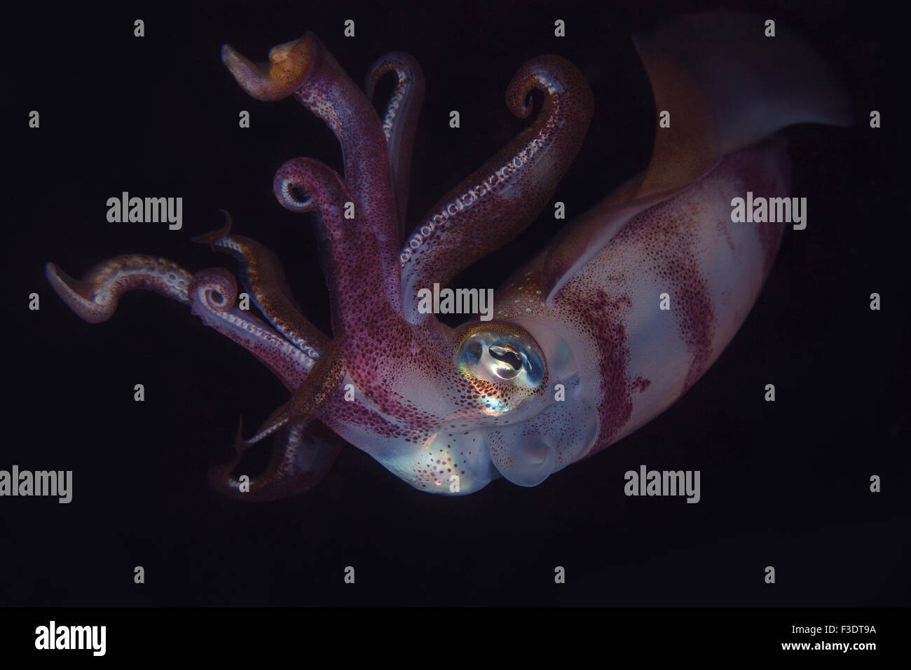 Close up of a Bigfin Reef Squid (Sepioteuthis lessoniana) at night - Stock Image