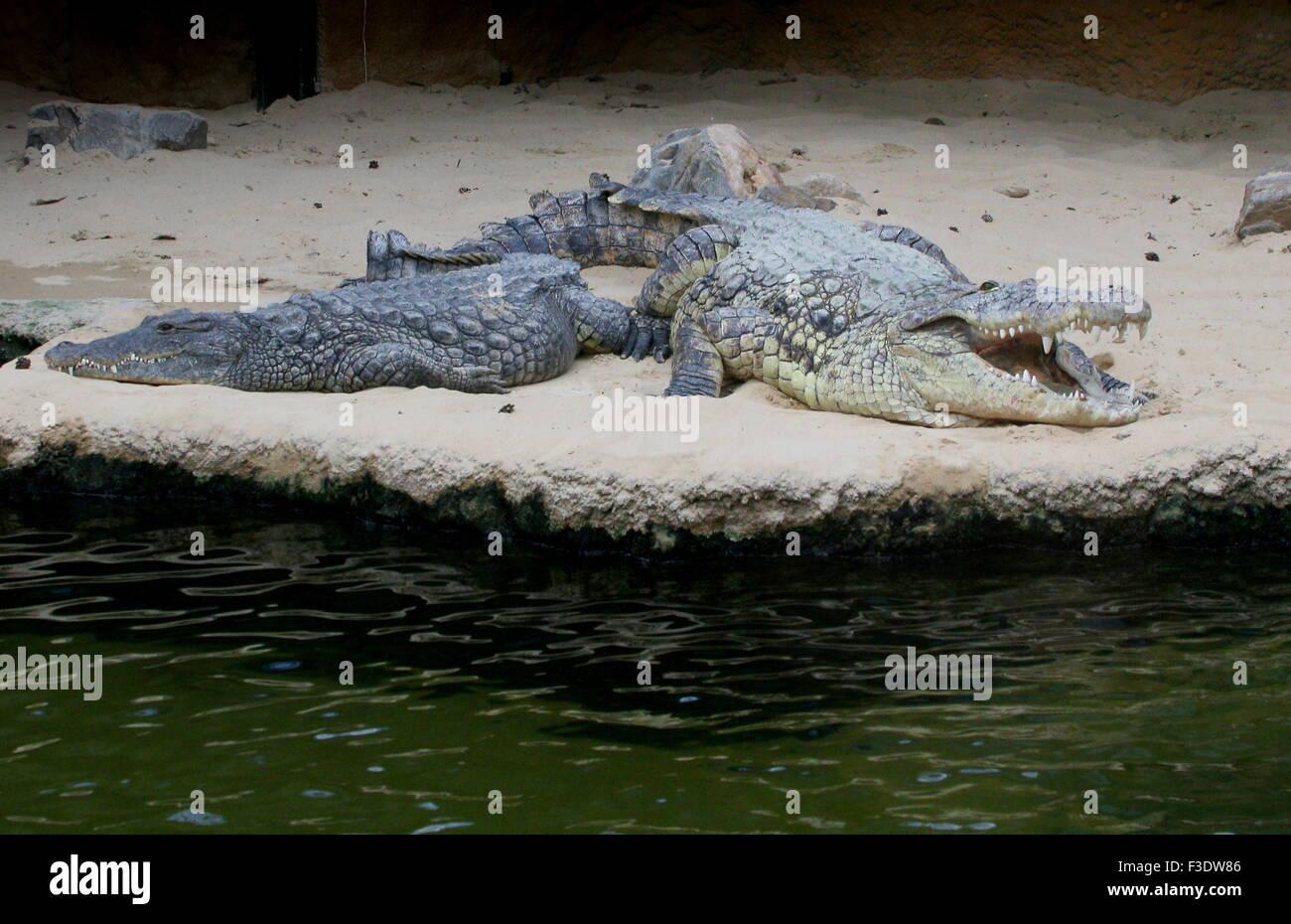 Mature African Nile crocodile (Crocodylus niloticus) basking in the sun - Stock Image