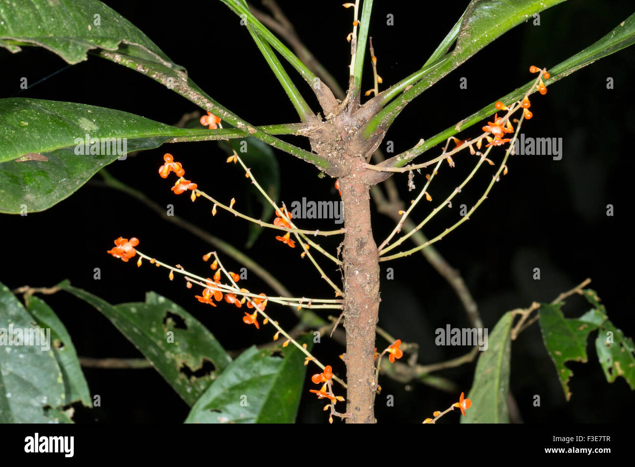 Clavija procera (Theophrastaceae). Used as a snake bite remedy by the Quichua Indians in the Ecuadorian Amazon - Stock Image