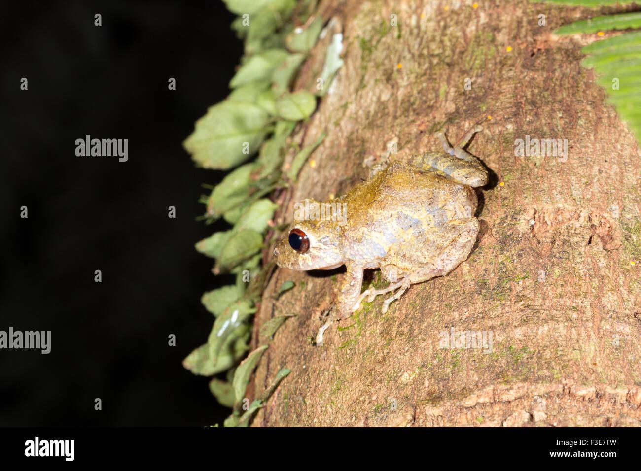 Diadem Rain Frog (Pristimantis diadematus) on a rainforest tree trunk in Ecuador - Stock Image